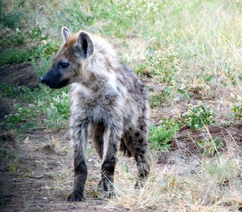 #wildlifesafaritanzania #Travelbloggerindia #Travelblog #Tanzaniatravelblog #tanzaniatourism #Tanzaniawildlifespotting #wildlifesafariafrica #Ngorongoroconservationarea #hyena