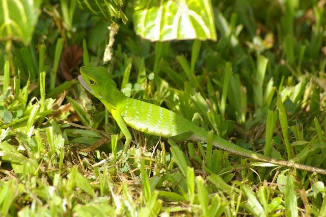 Lézard vert à crête - Bronchocela cristatella KUHL, 1820 (Agamidae). Gomantong, 14 août 2011. Photo : J.-M. Gayman