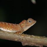 Gonocephalus bornensis SCHLEGEL, 1848. Pangi. Sukau (Sabah), 7 août 2011. Photo : J.-M. Gayman