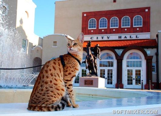 19-Кошка породы саванна сидит у фонтана