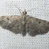 Common Eupithecia Moth