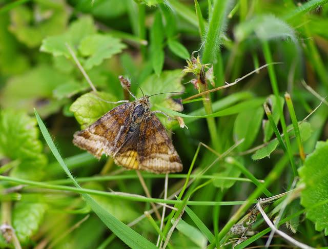Noctuidae : Catocalinae : Euclidia glyphica (LINNAEUS, 1758). Les Hautes-Lisières (Rouvres, 28), 10 juin 2013. Photo : J.-M. Gayman