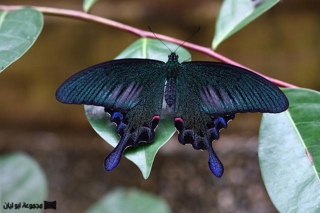 اجمل ملكة جمال الحشرات ؟؟؟؟ D%2520%25284%2529