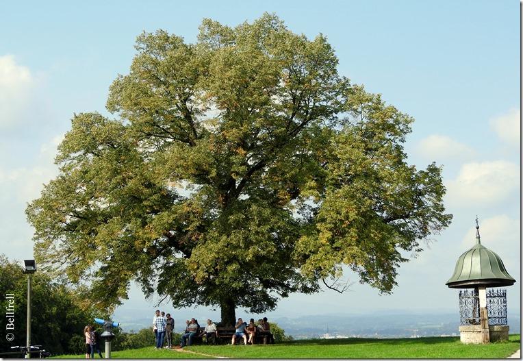 Plainlindenbaum