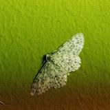 Hymenomima umbelularia Hübner, 1825. Santa Fe (Veraguas, Panamá), 18 octobre 2014. Photo : J.-M. Gayman