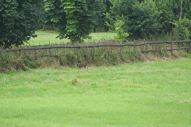 Woodhurst Wildlife Muntjac In The Grassfield - muntjac16.jpg