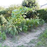2010年7月27日の家庭菜園の様子