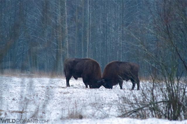 Bison bulls fighting in snow, Białowieża Forest. Photo: Andrzej Petryna