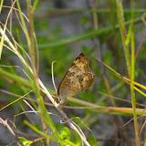 Anartia jatrophae LINNAEUS, 1763. Itamambuca (Ubatuva, SP), 14 février 2011. Photo : J.-M. Gayman