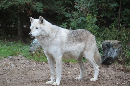 Wolf  largest one
