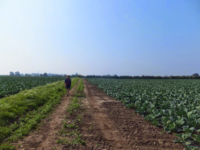 Cabbage fields either side of the former Roman road