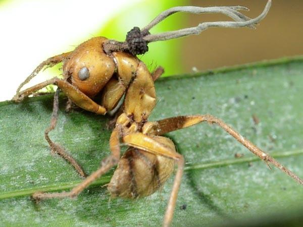 Los hongos de los golgari 7536-hormiga-zombie