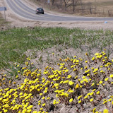 Coltsfoot on road shoulder