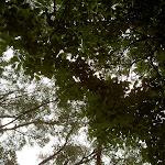 Leafy canopy above Mt Bouddi Track (21536)