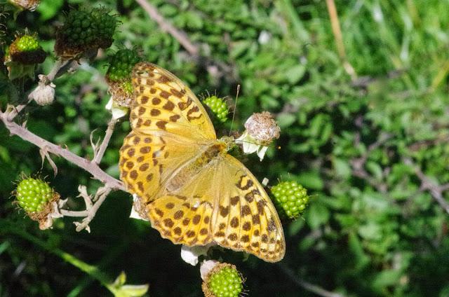 Argynnis paphia (L., 1758), femelle. Tras le Mont (850 m), Cocurès (Lozère, France), 3 août 2014. Photo : J.-M. Gayman