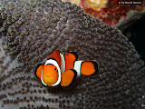 Our first real clown fish - they look much prettier than the anemone fish in the Red Sea (© 2009 Bernd Neeser)