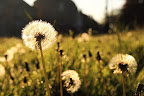 The field of frail dandelions sway lightly in a windy and sunny day.