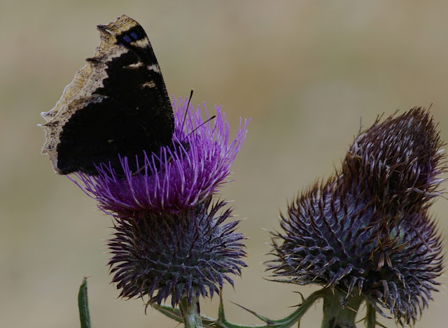 Nymphalis antiopa LINNAEUS, 1758. Maurin, 1930 m (Alpes-de-Haute-Provence). 9 août 2009. Photo : J.-M. Gayman