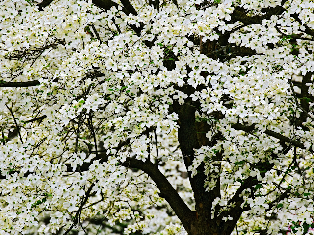 Flowering Dogwoods wallpaper