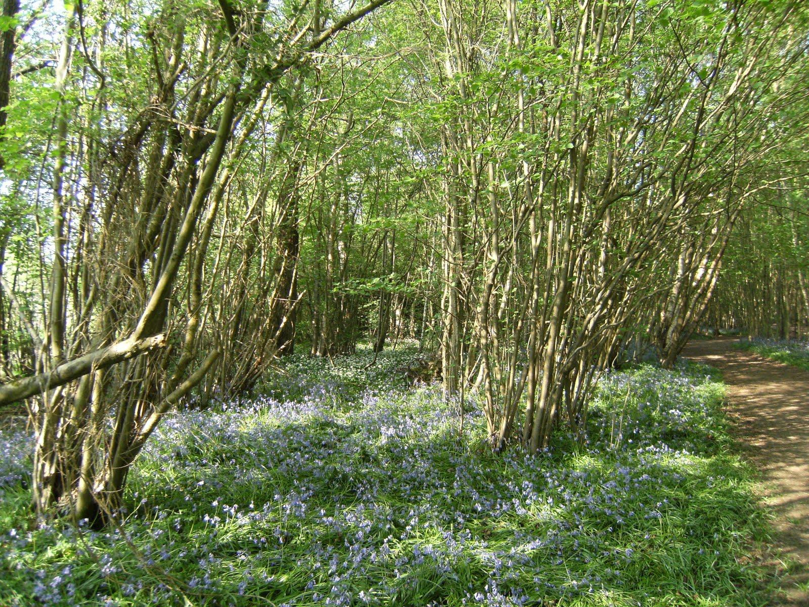DSCF7490 Bluebells in Birchden Wood