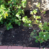Gardening 2013 - 115_5399.JPG