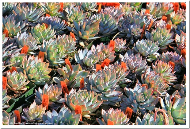 160206_Annies_020_Echeveria-peacockii