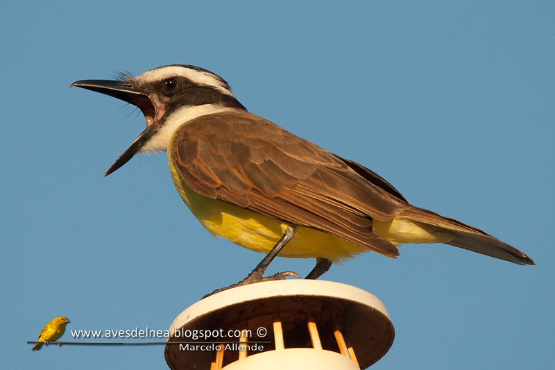Benteveo gritón (Loud Great Kiskadee)