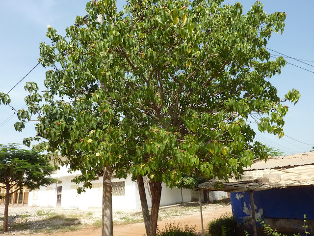Arbre du Sénégal !!! P1030261
