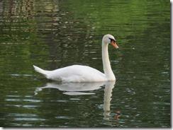 Swan at Lake J