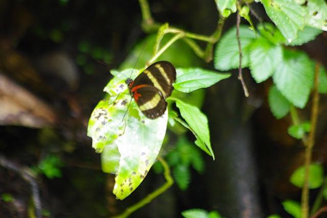 Heliconius pachinus Salvin, 1871. Piste vers Mount Totumas, 1650 m (Chiriquí, Panamá), 26 octobre 2014. Photo : J.-M. Gayman
