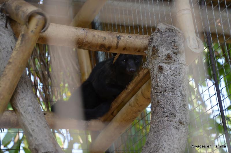 Luwak / civette - Kebune bali