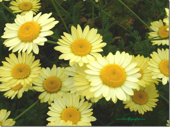 margaritas flores (59)