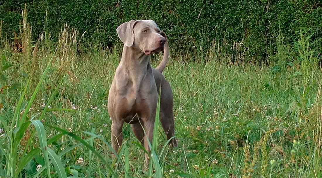 Las razas de perros. El Braco de Weimar