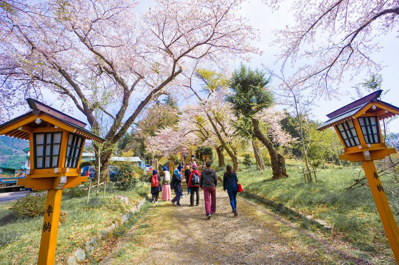 新倉富士浅間神社 桜 写真2