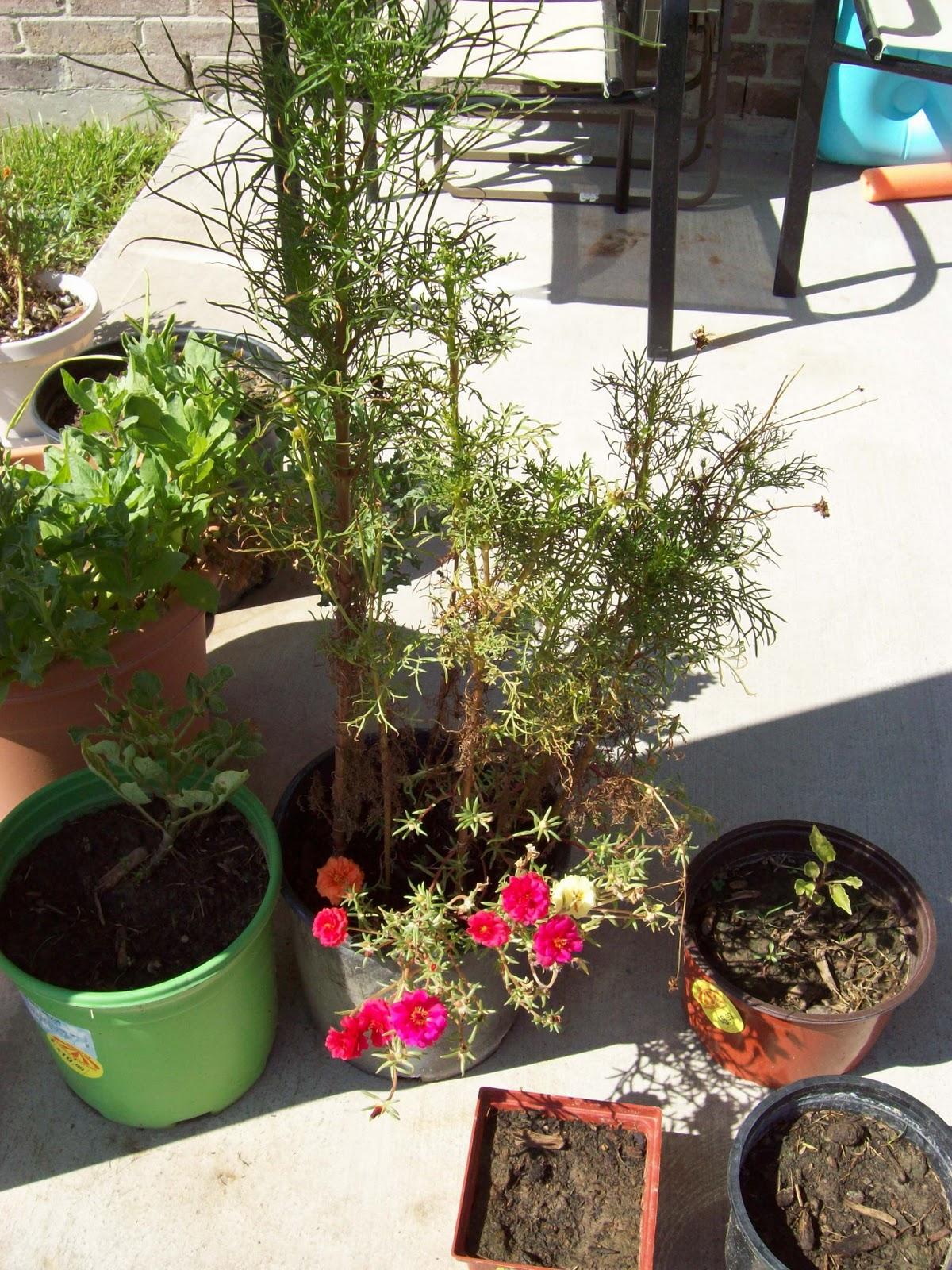 Gardening 2009 - 101_5231.JPG