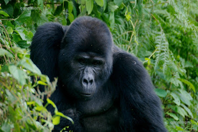 Gorila tracking. Kaungye Gorilla Group