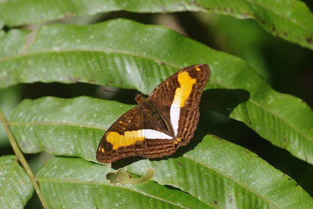 Adelpha heraclea heraclea (C. Felder & R. Felder, 1867). Bosque Bavaria (Villavicencio, Meta, Colombie), 9 novembre 2015. Photo : J.-M. Gayman