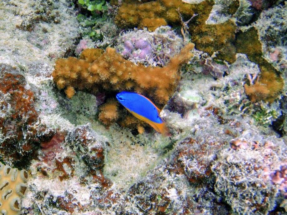 Chrysiptera taupou (Fiji Blue Devil Damselfish), Naigani Island, Fiji.