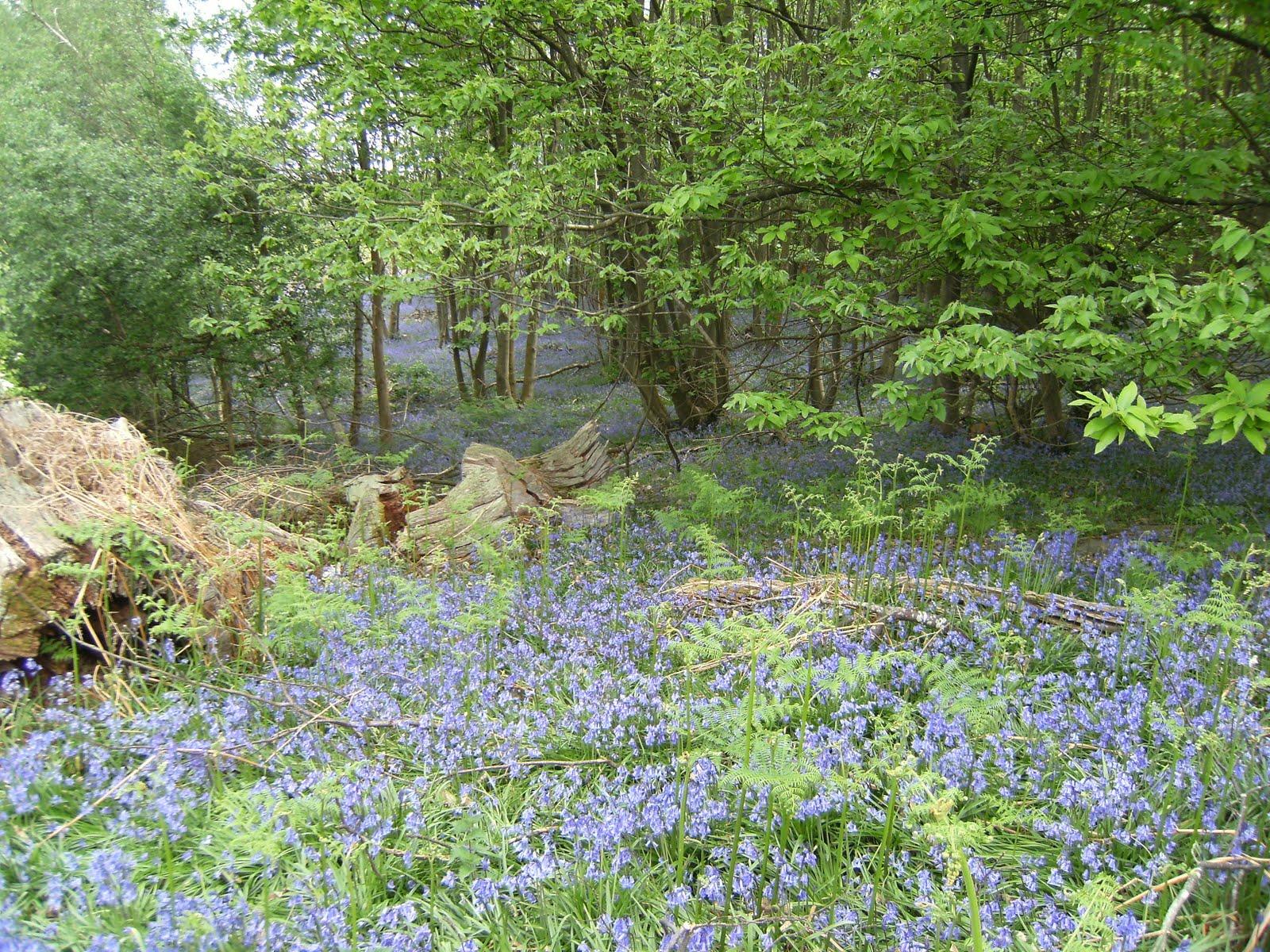 DSCF7811 Bluebells on the Buckhurst Estate