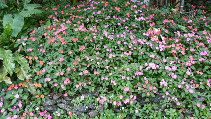 fleurs de Taïwan qui poussent partout.Impatiens de nouvelle guinée?