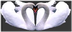 cisnes-buscoimagenes-3_thumb