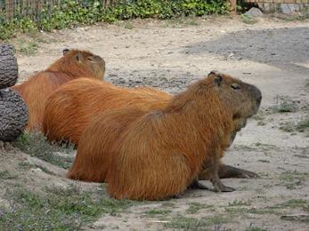2018.08.25-062 capybaras
