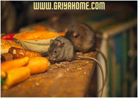 Tips Mengusir Tikus, Kecoa dan Hewan Penganggu di Rumah