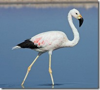 Flamingo-Andino