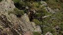 Un bouc de montagne à la descente du Monte Saltare