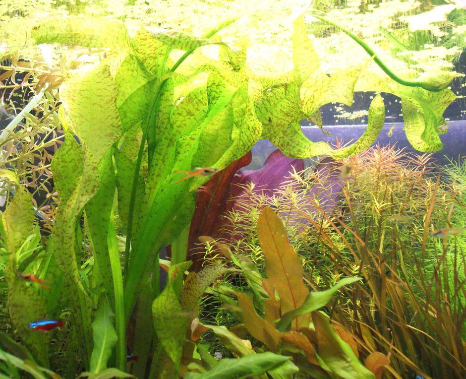 Оттелия ульволистная (Ottelia ulvifolia)