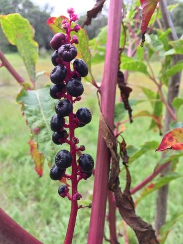 nightlockberries - DeviantArt