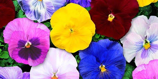 三色堇 沙洲-莫內混合 | iGarden花寶愛花園