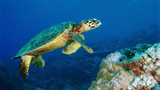Hawksbill Turtle, Malaysia.jpg