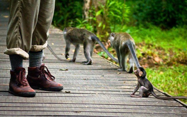 Baby Macaque, Meet Adult Human